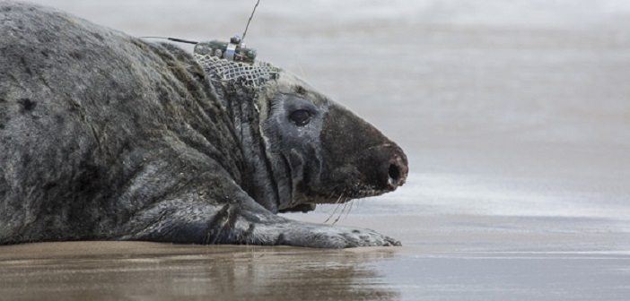 """Bioprobes"": Grey Seals as Mobile Listeners"