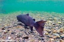 A tagged salmon kelt in Cape Breton, Nova Scotia (Xavier Bordeleau)
