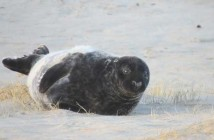 Grey seal pup on Sable Island, NS (Dave Yurkowski)