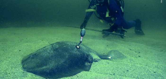 First ever satellite-tagged Atlantic torpedo ray