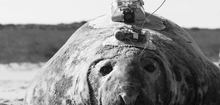Emma the seal: bioprobes provide window into life on and off Sable Island