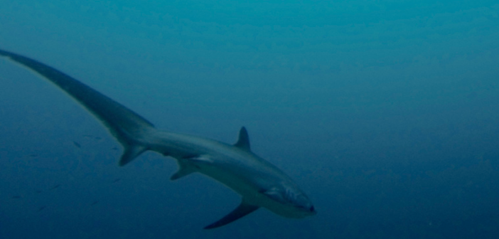 Big-eyed thresher shark provides students rare study opportunity