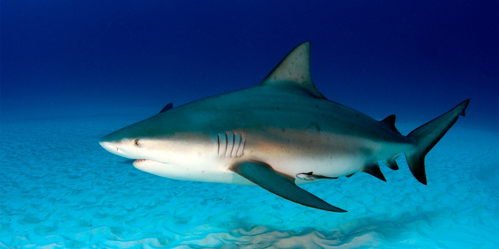 OTN bull shark collaboration launches in Mozambique