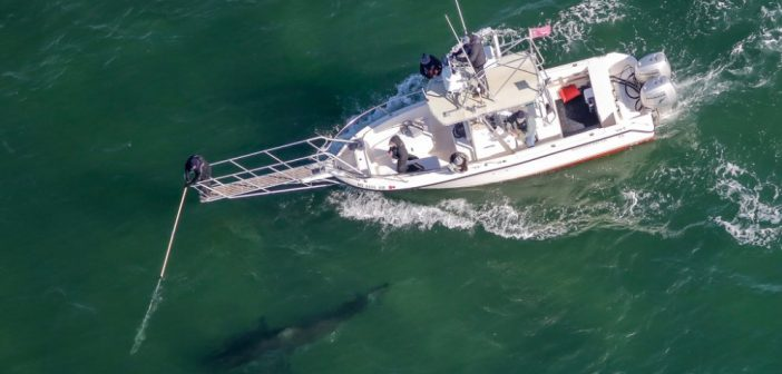 Five-year white shark population project wraps up in Cape Cod