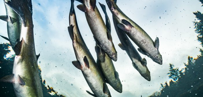 International Year of the Salmon: a year for celebration and action