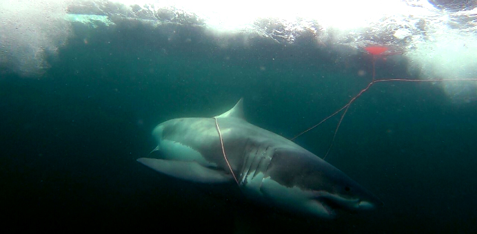 Researchers tag white shark, hope to discover key for managing the species in Nova Scotia